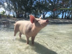 Swimming pig Harbour Island